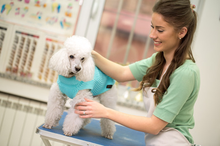Professional woman and white poodle in hair service