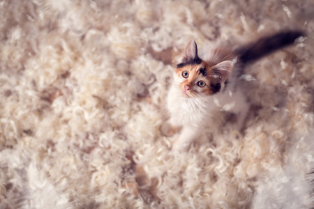 irresistible: Cute kitten  and feathers, irresistible fun
