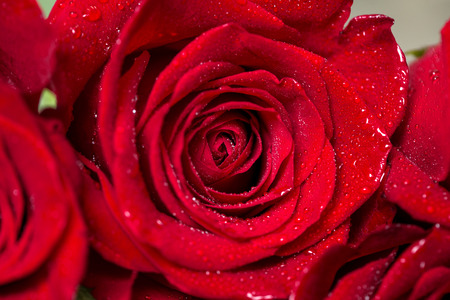 closeup view: Close-up view of beautiful red rose with water drops