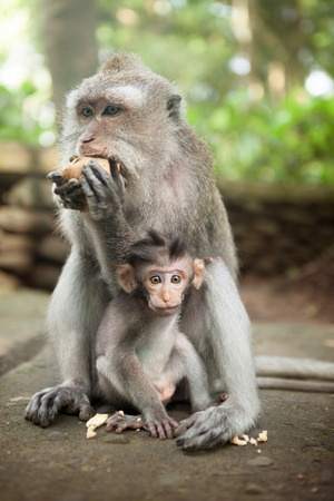 Mother and baby monkey at sacred monkey forest, Ubud, Bali, Indonesia.
