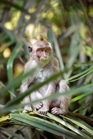 Monkey in nature, Ubud forest, Bali Stock Photo