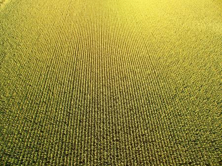 champ de mais: Champ vert de maïs