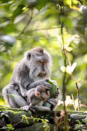 Monkey in rain forest, lunch time Фото со стока - 72885095