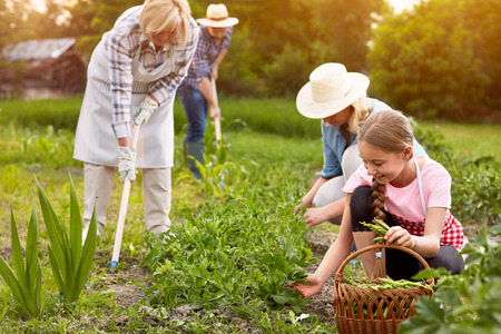 Hoeing garden and picking peas on bright day Stock Photo