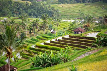 beautiful rice terraces Bali, Indonesia.