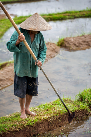 Worker in rice paddy, rice plantation Stock Photo