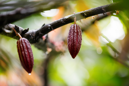 Fresh cacao pods in red variety Stock Photo