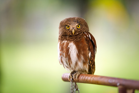 megascops: screech owl looking at camera over green background   Stock Photo
