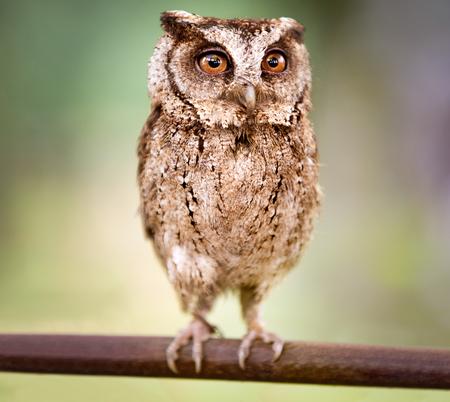 small screech owl (Megascops kennicottii) Фото со стока