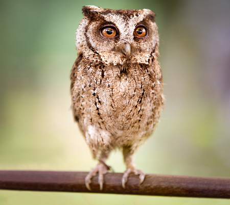 small screech owl (Megascops kennicottii) 版權商用圖片