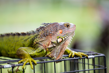 Close-up of a male green iguana dragon Stock Photo