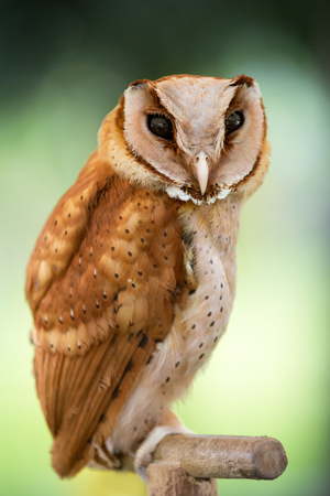 megascops:  Beautiful  owl, small bird predator , western screech owl