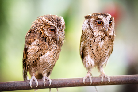 megascops:  Couple of small owls sitting on branch