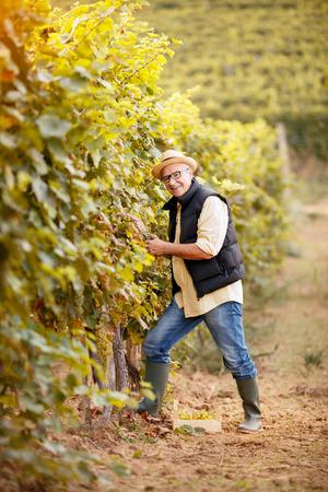 winemaker harvest the grape at his family vineyard