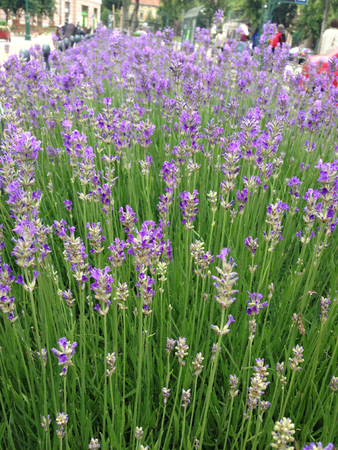 Lavender flowers in town at summer Banque d'images