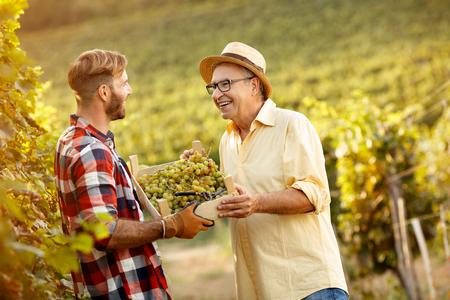 druiven in wijngaard- vader en zoon oogsten van druiven