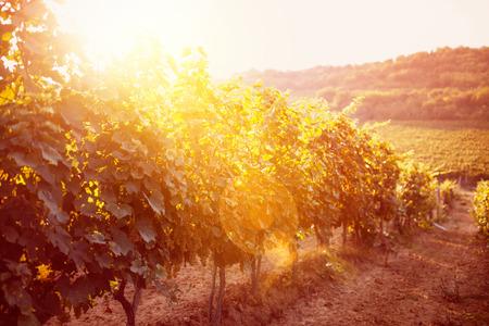 Grape field vineyard background Banque d'images
