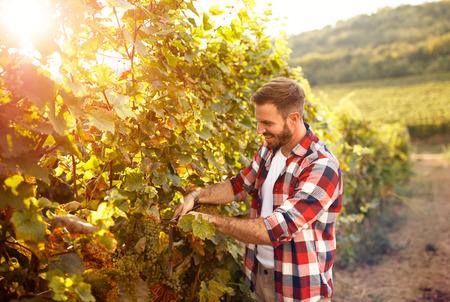 Farmer harvesting the grapes in vineyard