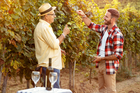 Father and son checking grapes before harvest- inspecting grape