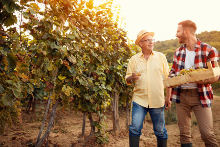 Family in vineyard - father and son harvesting grapes