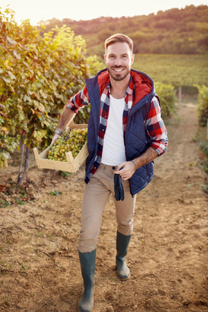 young man harvesting grapes from vines in vineyard Stock Photo