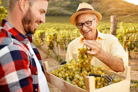 Father vintner showing grapes to son in vineyard Banque d'images