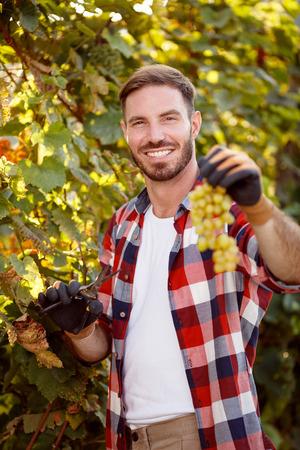 smiling farmer harvesting the grapes in vineyard