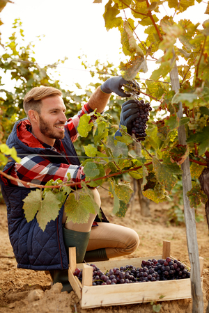 Grape harvest smiling worker vintner on family vineyard