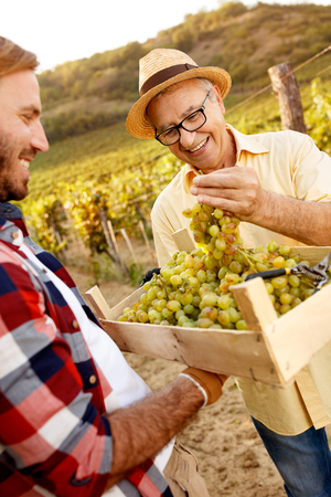 Young grapes harvest - satisfied smiling farmer