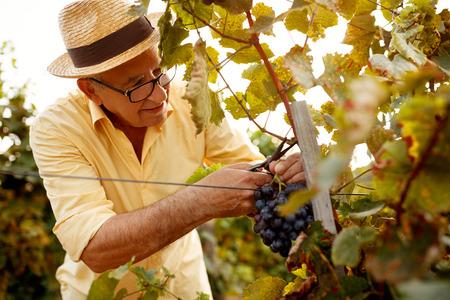 ripe grape harvest vintner on family vineyard Stock Photo