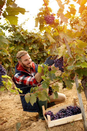 happy worker picking black grapes on family autumn vineyard