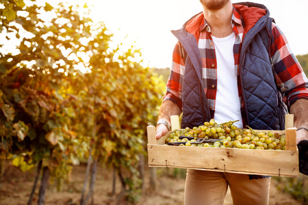 grape harvest- Family generation tradition Banque d'images
