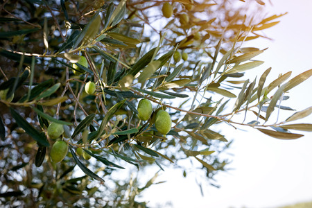 Green Olives on branch in olive yard in nature