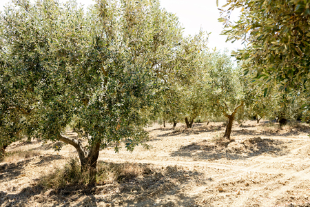 Olive yard in Greece with olive trees