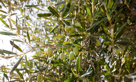 Green olives in the olives tree top