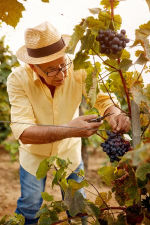 man picking grapes in autumn vineyard