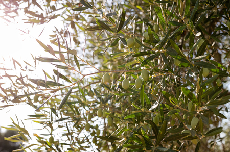 Beautiful olive tree Banque d'images