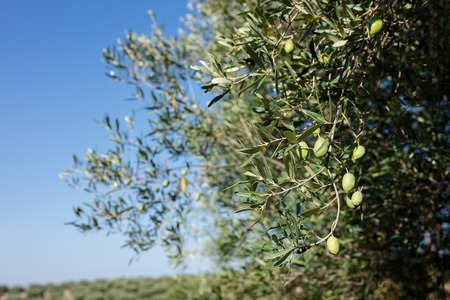 Part of olive tree, branch