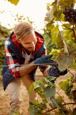 grapes on family autumn vineyard- smiling worker picking black grapes
