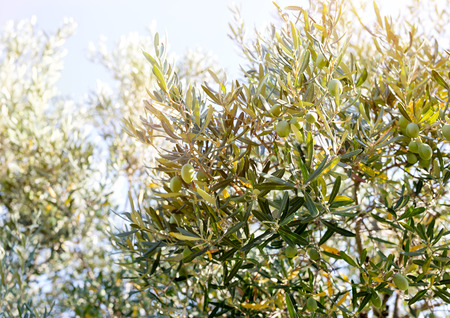 olive green: Green Olives on branch in olive yard in nature