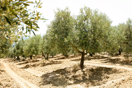 Greek olive yard with old trees