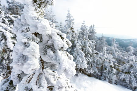 Beautiful winter landscape with tops of fir tree under snow