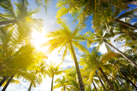 Coconut trees, looking up angle, against summer sky background