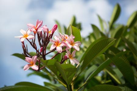 bouquet of frangipani flower or Plumeria, tropical flower 스톡 콘텐츠