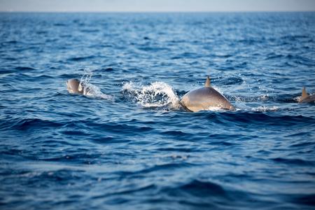 Marine wildlife background - three bottlenose dolphins jumping over sea waves Stock Photo