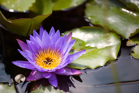 beautiful waterlily or lotus flower in pond Archivio Fotografico - 105507294