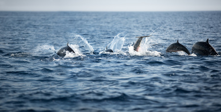Group of dolphins, swimming in the ocean and hunting for fish, the jumping dolphins comes up from water