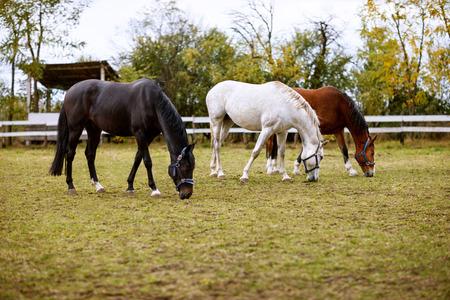 Three beautiful horses eating grass on ranch outside Reklamní fotografie - 107418971