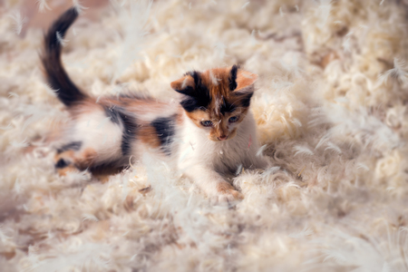 Cute kitten  lying  in feathers, playing time Stock Photo