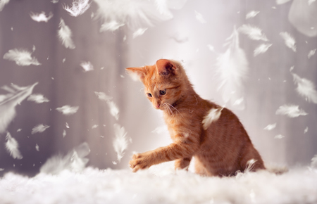 playful red kitten in feathers